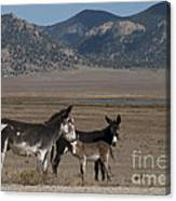 Donkeys In The Colorado Rockies Canvas Print
