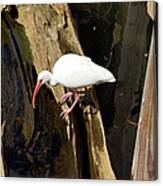 White Ibis Bird Canvas Print