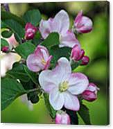 Door County Apple Blossoms Canvas Print