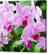 Doritaenopsis Flower Canvas Print
