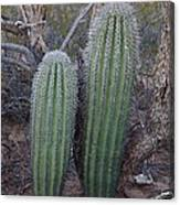 Double Barrel Saguaro Canvas Print