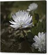 Double Bloodroot Canvas Print