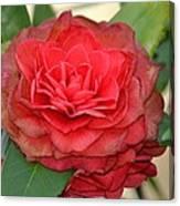 Double Blossom Camelias Canvas Print