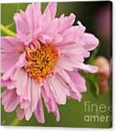 Double Click Cosmos Named Rose Bonbon Canvas Print