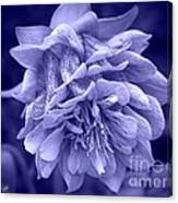 Double Columbine In Blue Canvas Print