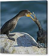 Double-crested Cormorants Canvas Print