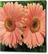 Double Delight - Coral Gerbera Daisies Canvas Print