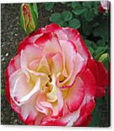 Double Delight Hybrid Tea Rose Canvas Print