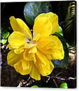 Double Hibiscus Costa Rica Canvas Print