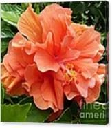 Double Peach Hibiscus Canvas Print