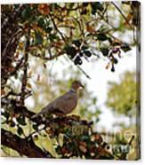 Dove In Autumn Oak Tree Lower Lake Ca Canvas Print