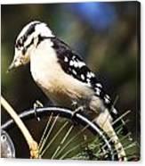 Downy Woodpecker 2 Canvas Print