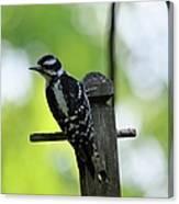 Downy Woodpecker 7448 Canvas Print