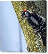 Downy Woodpecker - Male Canvas Print