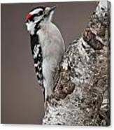 Downy Woodpecker Pictures 11 Canvas Print