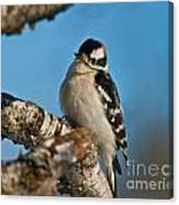 Downy Woodpecker Pictures 23 Canvas Print
