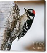 Downy Woodpecker Pictures 26 Canvas Print