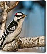 Downy Woodpecker Pictures 34 Canvas Print