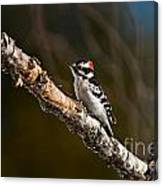 Downy Woodpecker Pictures 36 Canvas Print