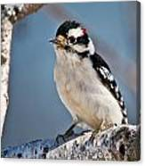 Downy Woodpecker Pictures 39 Canvas Print