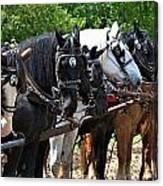 Draft Horses All In A Row Canvas Print