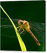 Dragon Fly On Grass Canvas Print
