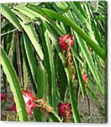 Dragon Fruit Tree Canvas Print