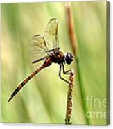 Dragonfly Gold Canvas Print