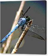 Dragonfly - Great Blue Skimmer Canvas Print