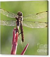 Dragonfly Macro On Top Of A Flowering Plant Canvas Print