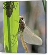 Dragonfly Metamorphosis - Eighth In Series Canvas Print