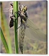 Dragonfly Newly Emerged - First In Series Canvas Print
