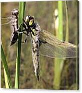 Dragonfly Newly Emerged - Third In Series Canvas Print