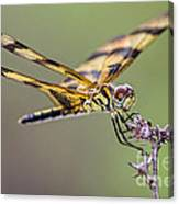 The Halloween Pennant Dragonfly Canvas Print