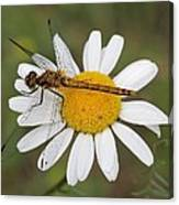 Dragonfly On A Daisy Canvas Print