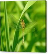 Dragonfly On A Grass Stem Canvas Print