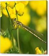 Dragonfly On Birds-foot Trefoil Canvas Print