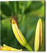Dragonfly On Bud Canvas Print