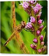 Dragonfly On Liatris Canvas Print