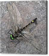 Dragonfly On Rock Canvas Print