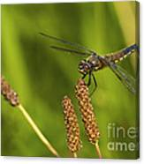 Dragonfly On Seed Pod 2 Canvas Print