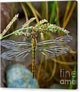 Dragonfly X-ray Canvas Print