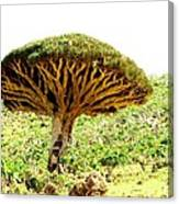 Dragon's Blood Tree 2 Canvas Print