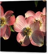 Dramatic Dogwood Flowers Canvas Print