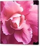 Dramatic Pink Begonia Floral Canvas Print