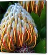 Dramatic Protea Flower Canvas Print