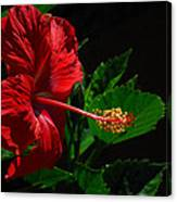 Dramatic Red Hibiscus Canvas Print