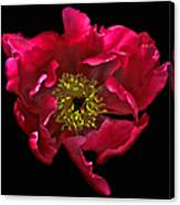Dramatic Red Peony Flower Canvas Print