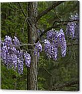 Draping Wisteria Frutescens Wildflower Vines Canvas Print