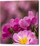 Pink Old Fashioned Rose Canvas Print